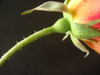 Rosethorn