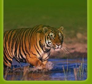 Tiger_blog_2
